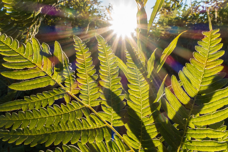"SATURDAY, JULY 16, 2016<br /> <br /> MACRO 01417<br /> <br /> ""Sunburst Fern""<br /> <br /> A burst of sunlight and a beautiful fern last night just before sunset.  <br /> <br /> Camera: Sony DSC-RX100M3<br /> Focal length: 24mm<br /> Shutter speed: 1/160<br /> Aperture: f/11<br /> ISO: 400"