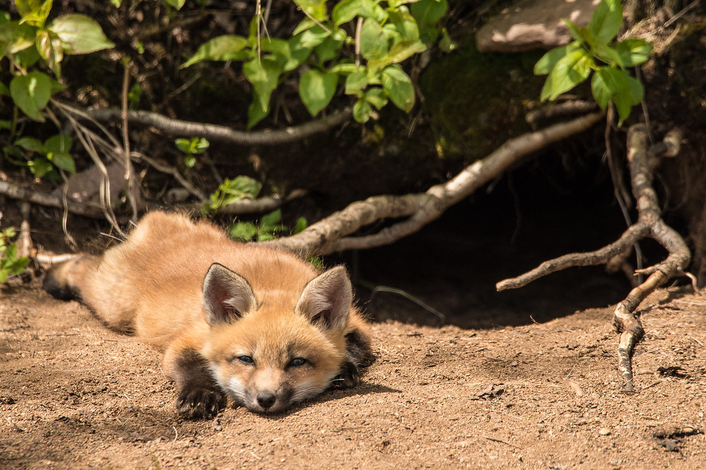 "THURSDAY, JUNE 9, 2016<br /> <br /> FOX 8129<br /> <br /> ""Lazy Fox Kit""<br /> <br /> Here are a couple more photos of the ""laziest"" of the three fox kits that we saw yesterday.  This is the same one that was doing the ""Superman"" pose in the photo that I posted earlier today.  He sure was a cute little bugger!  He hung around outside the den for several minutes after the others went back inside.  Nothing like a warm, sunny day to make you feel content :-)<br /> <br /> Camera: Nikon D750<br /> Lens: Tamron SP 150-600mm<br /> Focal length: 600mm<br /> Shutter speed: 1/1000<br /> Aperture: f/11<br /> ISO: 1000"