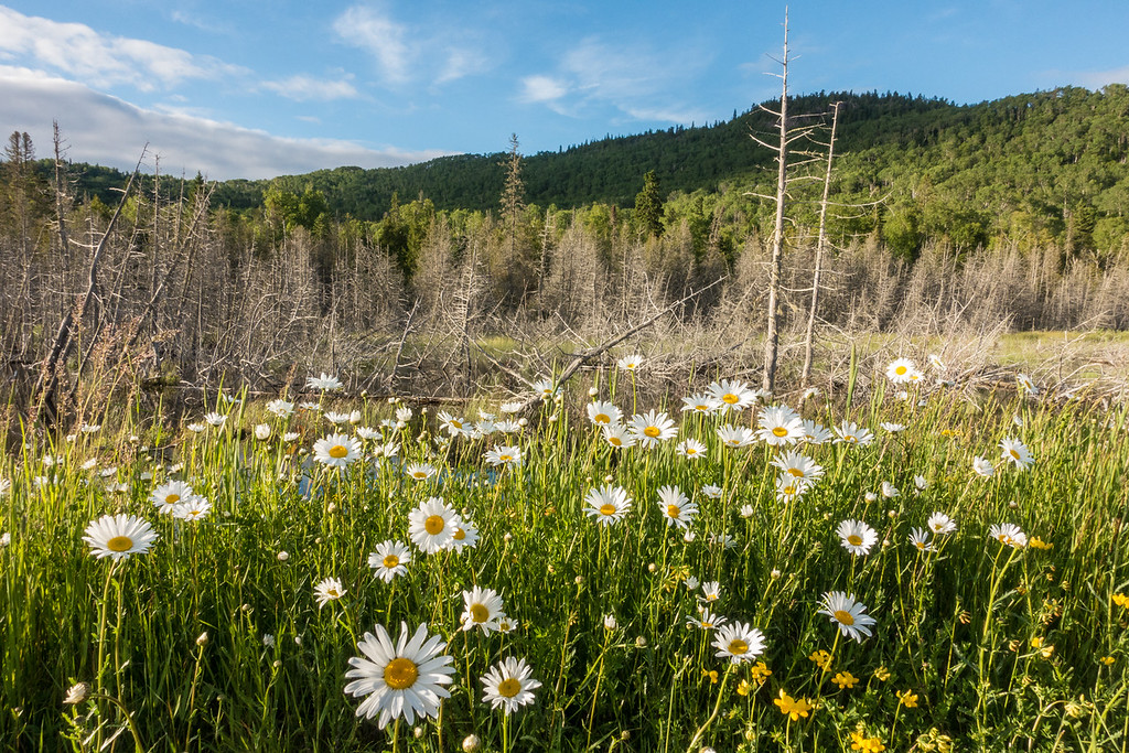 "TUESDAY, JUNE 28, 2016<br /> <br /> FOREST 01038<br /> <br /> ""Daisies and Mt. Josephine""<br /> <br /> A nice little scene that I passed by on my bike ride last night.  The daisies have come out in force the past week and I really liked the way the sunlight was catching them here.<br /> <br /> Camera: Sony DSC-RX100M3<br /> Focal length: 24mm<br /> Shutter speed: 1/200<br /> Aperture: f/11<br /> ISO: 400"