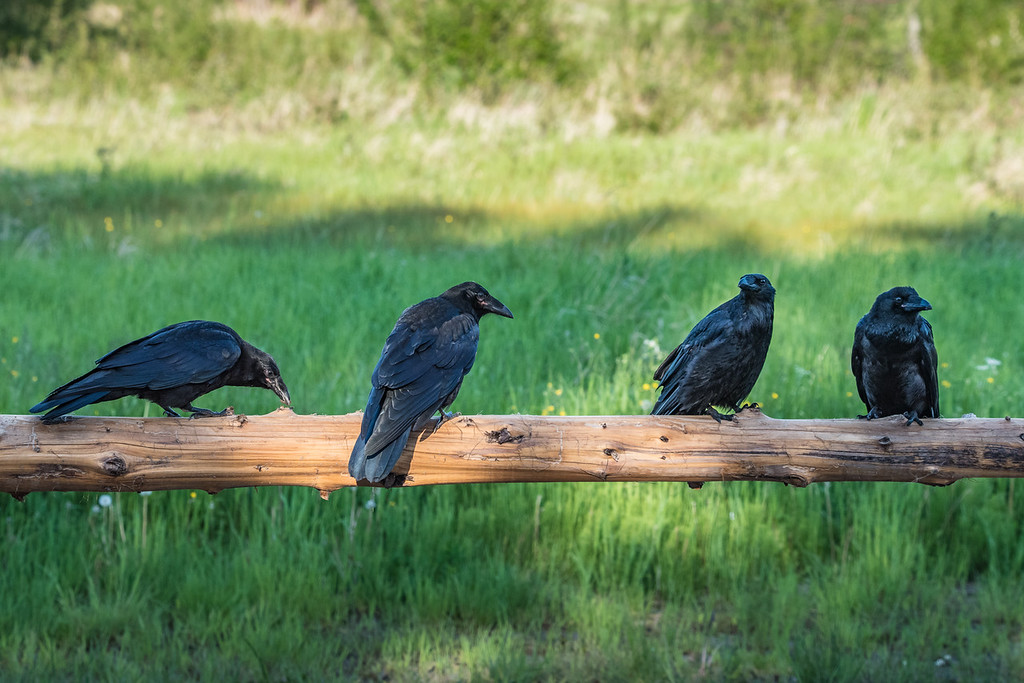 "TUESDAY, JUNE 21, 2016<br /> <br /> ANIMALS BY AIR 8188<br /> <br /> ""Raven Posse""<br /> <br /> A group of ravens that I came across recently.  I find that most ravens are incredibly wary and will not let you get very close to them.  It seems they are either like that, or they are super tame.  The really tame ones are rare, though.  This was a unique moment where I stopped my truck alongside the road to watch these guys and they didn't fly away.  I was able to watch them for a few minutes before they decided to leave.<br /> <br /> Camera: Nikon D750<br /> Lens: Tamron SP 150-600mm<br /> Focal length: 200mm<br /> Shutter speed: 1/1000<br /> Aperture: f/11<br /> ISO: 1600"