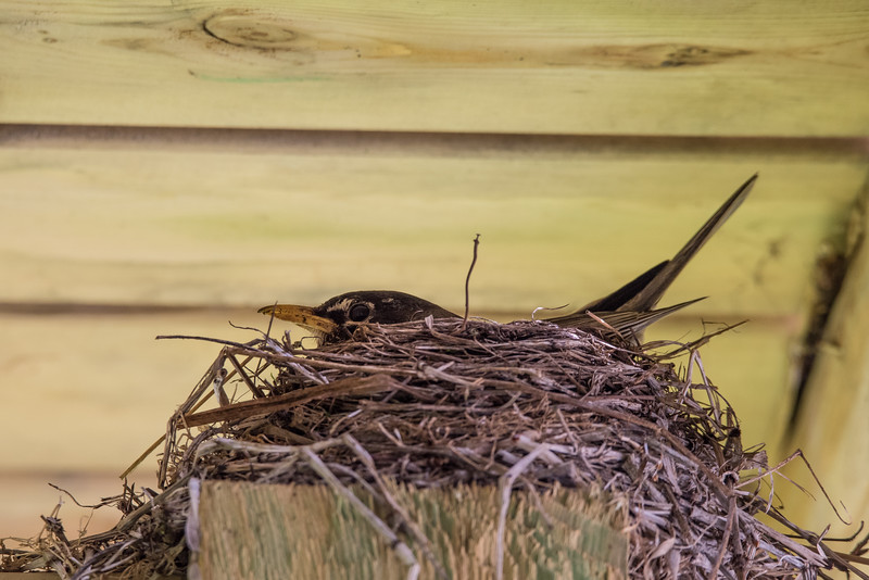 "TUESDAY, JUNE 14, 2016<br /> <br /> ANIMALS BY AIR 8084<br /> <br /> ""Robin Nest""<br /> <br /> We have a nice addition to our yard this year.  A robin has decided to nest on one of the beams underneath our deck!  Jessica noticed the nest a few weeks ago when she was working on some gardening around the yard.  It's a very well-hidden nest, you cannot see it unless you crouch down and peek up underneath the deck.  The beam is about 4 feet off the ground, but the sides of the deck hang down beneath the beam which keeps the nest hidden from view.  Luckily the nest is easily viewable from our basement window and I was able to get a photo of the robin sitting on the nest by shooting from the window.<br /> <br /> Camera: Nikon D750<br /> Lens: Tamron SP 150-600mm<br /> Focal length: 450mm<br /> Shutter speed: 1/160<br /> Aperture: f/10<br /> ISO: 1600"