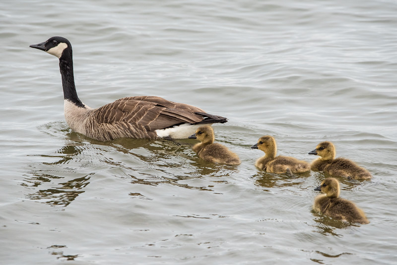 "SUNDAY, JUNE 12, 2016<br /> <br /> ANIMALS BY AIR 7998<br /> <br /> ""Canada Goose Family""<br /> <br /> The Canada Geese have been rearing their young for a while now.  I took this photo a couple of weeks ago and intended to share it but kind of forgot about it.  This was taken just down the road from our house on Grand Portage Bay along the Lake Superior shoreline.  The babies have grown a lot since I made this picture!<br /> <br /> Camera: Nikon D750<br /> Lens: Tamron SP 150-600mm<br /> Focal length: 450mm<br /> Shutter speed: 1/200<br /> Aperture: f/11<br /> ISO: 1600"