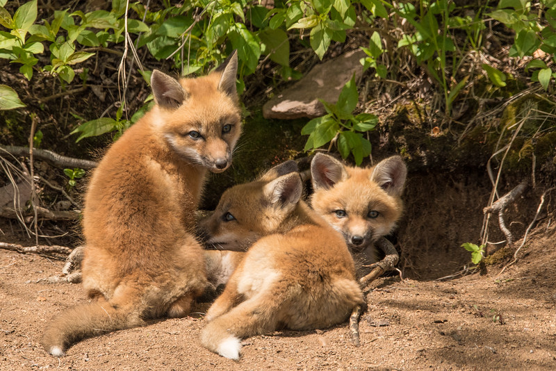 "THURSDAY, JUNE 9, 2016<br /> <br /> FOX 8104<br /> <br /> ""A lazy afternoon in the sun for the fox kits""<br /> <br /> Yesterday while driving back home from Grand Marais we had the good fortune of seeing these fox kits right outside their den. We must have come by right after play time as they were just lounging around in the sun in front of the den rather than running around like crazy like they normally are.  One of them decided he was particularly cute as he kept stretching out on his belly with his legs completely sticking out in a ""Superman"" pose (see next photo).<br /> <br /> Camera: Nikon D750<br /> Lens: Tamron SP 150-600mm<br /> Focal length: 460mm<br /> Shutter speed: 1/800<br /> Aperture: f/16<br /> ISO: 1000"