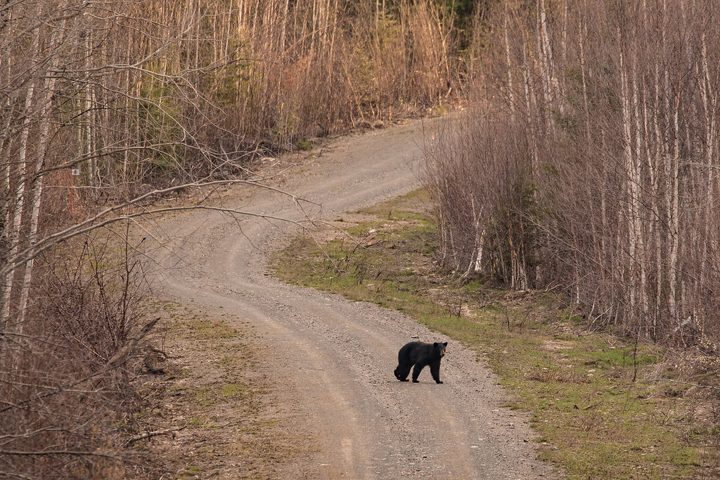 "FRIDAY, MAY 6, 2016<br /> <br /> ANIMALS BY LAND 7726<br /> <br /> ""The bears are out!""<br /> <br /> After work yesterday I went for a fat bike ride just across the border into Canada from where I work. However, the route I had planned to do ended up being impassable about 4 miles in so I had to turn around.  Since my ride was shorter than planned, I had some extra time so I decided to drive all the way through Arrow River Road.  Along the way I saw SEVEN bears!  They were all very skittish and the sight lines along Arrow River Road are very good, so they saw me coming and scattered long before I could get close enough to get a good picture.  Only in one instance, where I crested the rise of a hill and saw two bears, was I able to get a photo of one of them.  <br /> <br /> As soon as I came over the hill, I saw the two bears foraging along the edge of the road.  They immediately turned and ran, but ran into the woods on opposite sides of the road from each other.  I knew there was a good chance that if I sat and waited one of them would cross the road to join the other.  Sure enough, after only 2 or 3 minutes of waiting, that is exactly what happened.  That's when I made this photo.  It was cool to see so many bears in one evening along the same road.  I also saw a porcupine and a lot of ruffed grouse. I wish I had seen the porcupine early enough to get a good photo of him.  When I saw him I was on my way home and it was getting pretty dark, too dark to get a photo.  Still, he was cool to see as well!<br /> <br /> Camera: Nikon D750<br /> Lens: Tamron SP 150-600mm<br /> Focal length: 600mm<br /> Shutter speed: 1/250<br /> Aperture: f/11<br /> ISO: 1600"