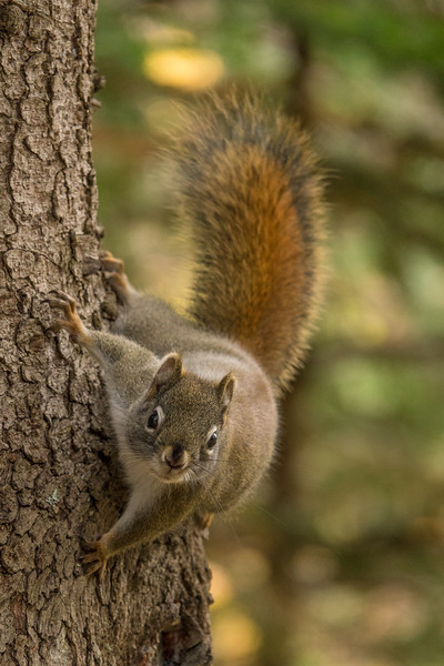 "THURSDAY, NOVEMBER 3, 2016<br /> <br /> ANIMALS BY LAND 02969<br /> <br /> ""Crazy Squirrel""<br /> <br /> I caught this crazy squirrel the other day as he was running around the trunk of this tree along the High Falls Trail in Grand Portage State Park. Sometimes squirrels act really goofy and this guy was certainly doing just that!<br /> <br /> Camera: Sony DSC-RX10M3<br /> Focal length: 424mm<br /> Shutter speed: 1/160<br /> Aperture: f/4<br /> ISO: 800"