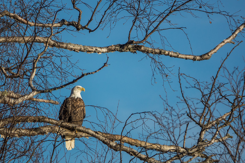 "TUESDAY, NOVEMBER 22, 2016<br /> <br /> BALD EAGLE 03152<br /> <br /> ""Afternoon Eagle""<br /> <br /> A couple of weeks ago I was driving home from Grand Marais and saw this beautiful eagle perched in a tree overlooking Lake Superior.  I always love seeing eagles.  A sighting of one always brings such joy to my day!<br /> <br /> Camera: Sony DSC-RX10M3<br /> Focal length: 600mm<br /> Shutter speed: 1/2500<br /> Aperture: f/4<br /> ISO: 200"