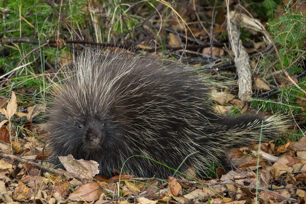 "SATURDAY, NOVEMBER 5, 2016<br /> <br /> ANIMALS BY LAND 03096<br /> <br /> ""Cute Little Porcupine""<br /> <br /> Camera: Sony DSC-RX10M3<br /> Focal length: 534mm<br /> Shutter speed: 1/160<br /> Aperture: f/4<br /> ISO: 1600"