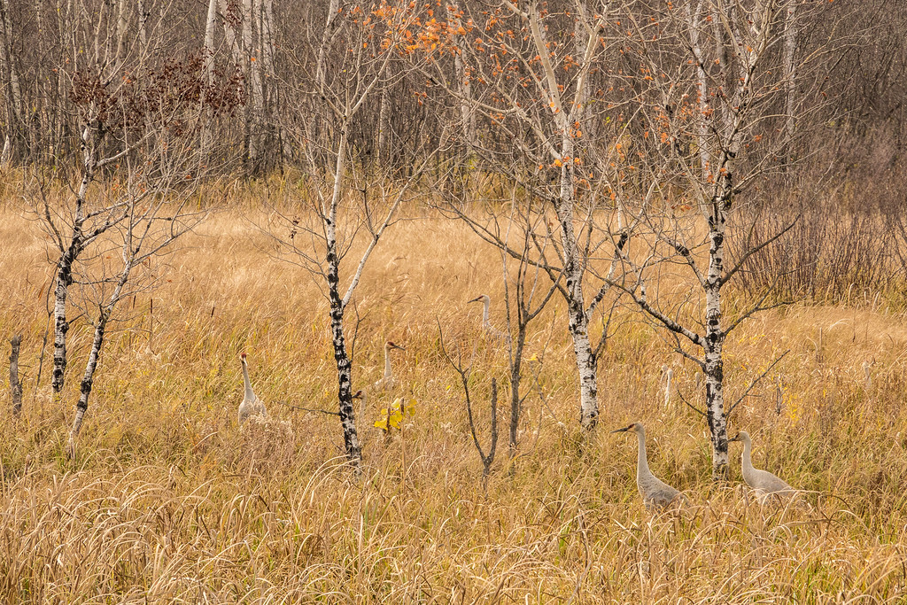 "SATURDAY, OCTOBER 29, 2016<br /> <br /> SANDHILL CRANES 02865<br /> <br /> ""Hanging out in the tall grass""<br /> <br /> Camera: Sony DSC-RX10M3<br /> Focal length: 300mm<br /> Shutter speed: 1/320<br /> Aperture: f/8<br /> ISO: 400"