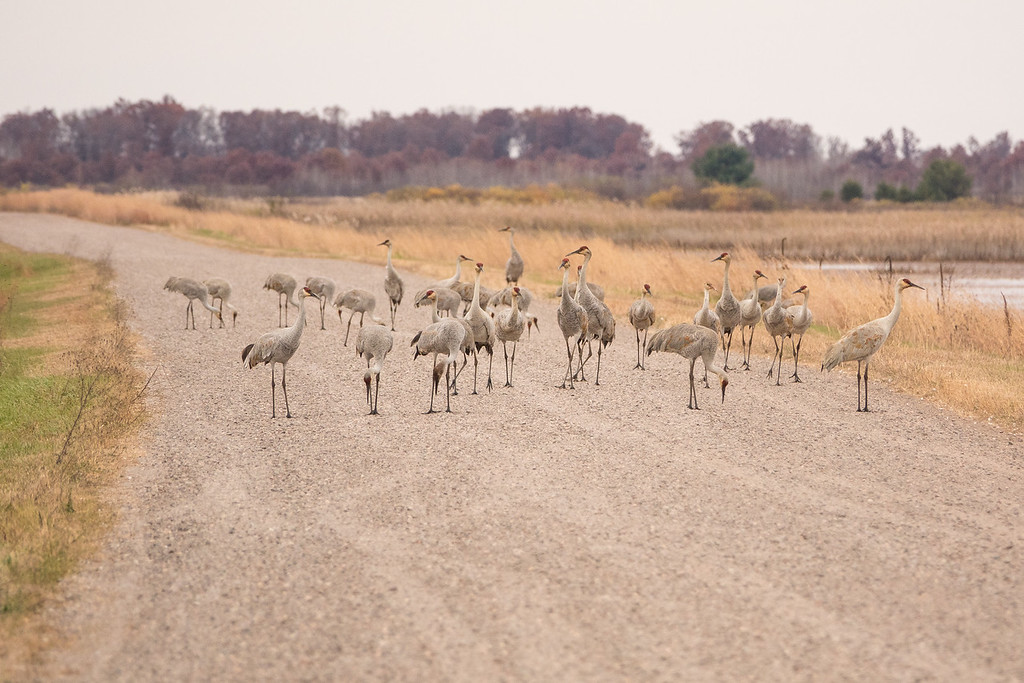 "SATURDAY, OCTOBER 29, 2016<br /> <br /> SANDHILL CRANES 02880<br /> <br /> ""Crane Traffic Jam""<br /> <br /> Camera: Sony DSC-RX10M3<br /> Focal length: 600mm<br /> Shutter speed: 1/800<br /> Aperture: f/4<br /> ISO: 400"