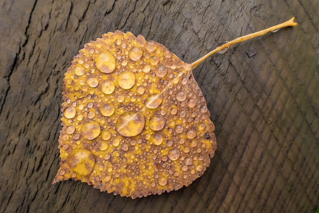 "TUESDAY, OCTOBER 18, 2016<br /> <br /> MACRO 04238<br /> <br /> ""Water Drops on Aspen Leaf""<br /> <br /> Last night while hiking on the Grand Portage Trail I saw this aspen leaf on one of the boardwalks.  It was completely covered with droplets of water.  I was mesmerized by it and couldn't pass it by without making a photograph.  I love little finds like this!<br /> <br /> Camera: Sony DSC-RX100M3<br /> Focal length: 24mm<br /> Shutter speed: 1/50<br /> Aperture: f/4<br /> ISO: 800"