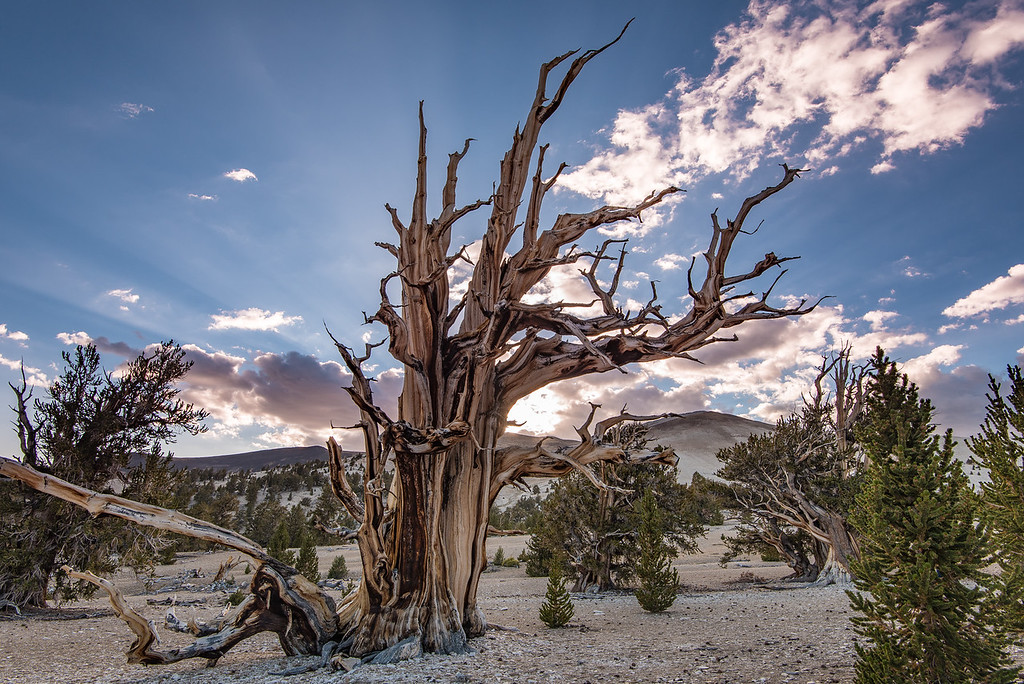 "FRIDAY, SEPTEMBER 23, 2016<br /> <br /> CALIFORNIA 9885<br /> <br /> ""Ancient Bristlecone Forest""<br /> <br /> Partriarch Grove, White Mountains<br /> <br /> Camera: Nikon D750<br /> Lens: Nikon 16-35mm f/4<br /> Focal length: 16mm<br /> Shutter speed:  1/40<br /> Aperture: f/11<br /> ISO: 100"
