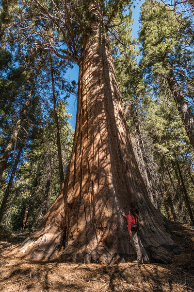 "MONDAY, SEPTEMBER 19, 2016<br /> <br /> CALIFORNIA 02695<br /> <br /> ""Giant Sequoia - Paradise Ridge Trail""<br /> <br /> Sequoia National Park<br /> <br /> The first hike we did during my visit to California was the Paradise Ridge Trail in Sequoia National Park.  This was an incredibly beautiful (as if there is such a thing as a non-beautiful trail in the Sierras!) up a steep hillside to Paradise Peak.  Along the way the trail wound through several stands of giant sequoias.  It is humbling, to say the least, to stand in the shadow of these awesome giants.  It is quite easy to get a sore neck while hiking in this forest, as you are constantly tempted to stare up into the canopy of these magnificent old-growth trees.  This hike was a great intro to the Sierras for me, and a teaser for the awesomeness that was yet to come :-)<br /> <br /> Camera: Sony DSC-RX100M3<br /> Focal length: 24mm<br /> Shutter speed: 1/160<br /> Aperture: f/4<br /> ISO: 100"