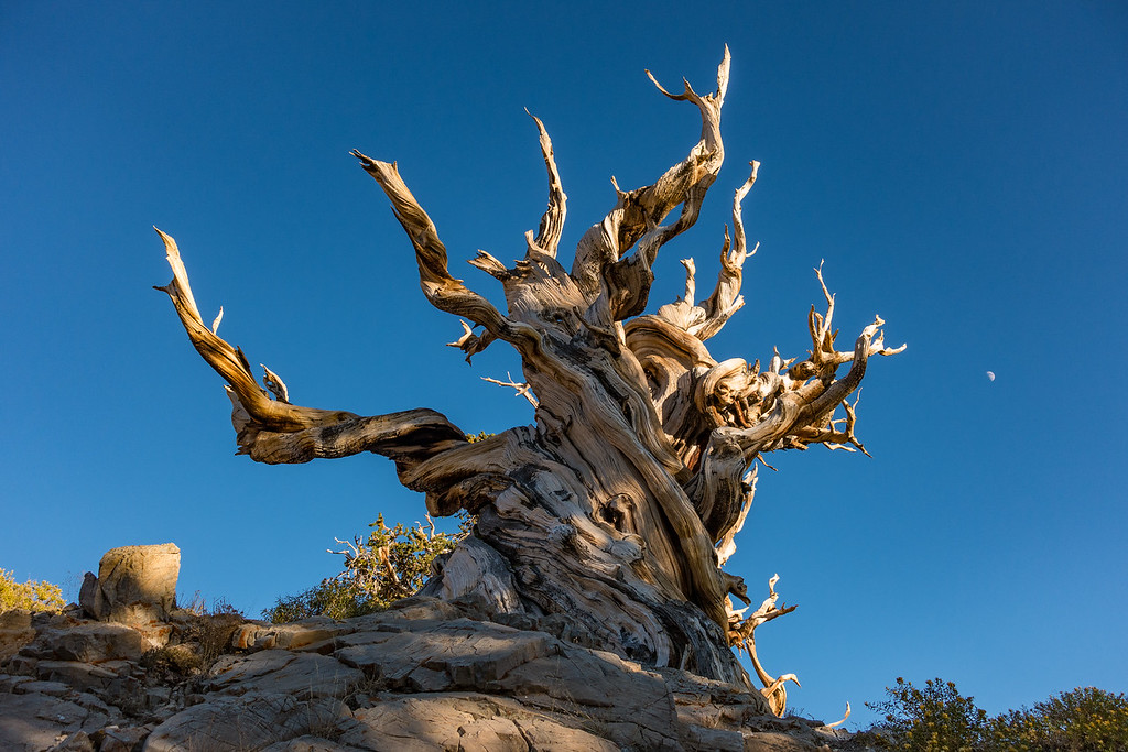 "SATURDAY, SEPTEMBER 24, 2016<br /> <br /> CALIFORNIA 03133<br /> <br /> ""Bristlecone Moon""<br /> <br /> Out of the countless Bristlecone trees that we saw, I think this one is my favorite.  There is just something about its shape and the fact that it stands out so cleanly from any other trees.  It's the one that I see as having the most photographic potential.  Indeed, as soon as we saw it I knew it was the one I wanted to come back and photograph at night with the stars and moonlight.  Speaking of moonlight, you can see the moon rising just to the right of the tree in this photo.  This photo was made about an hour and a half before sunset.<br /> <br /> Camera: Sony DSC-RX100M3<br /> Focal length: 35mm<br /> Shutter speed: 1/500<br /> Aperture: f/4<br /> ISO: 100"