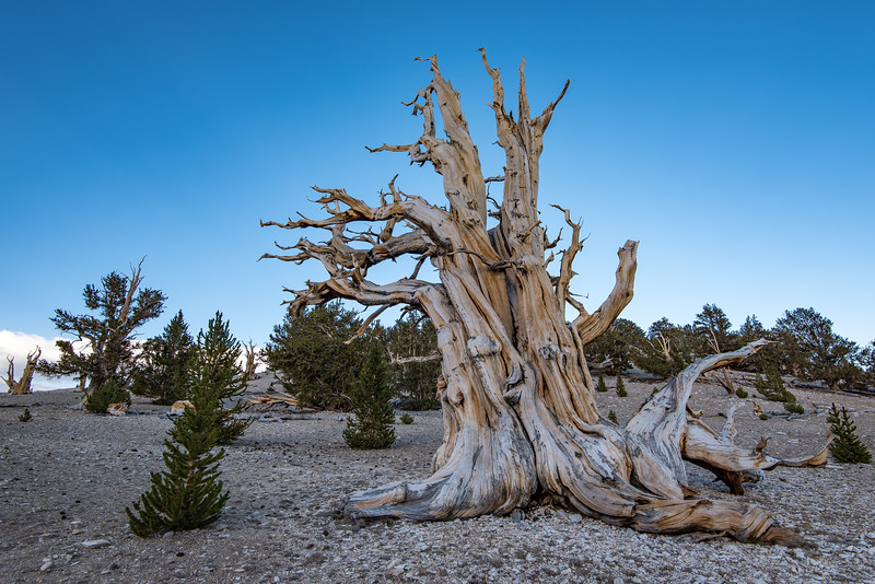 "FRIDAY, SEPTEMBER 23, 2016<br /> <br /> CALIFORNIA 9886<br /> <br /> ""Ancient Bristlecone Forest""<br /> <br /> Patriarch Grove, White Mountains<br /> <br /> Camera: Nikon D750<br /> Lens: Nikon 16-35mm f/4<br /> Focal length: 16mm<br /> Shutter speed:  1/40<br /> Aperture: f/11<br /> ISO: 100"