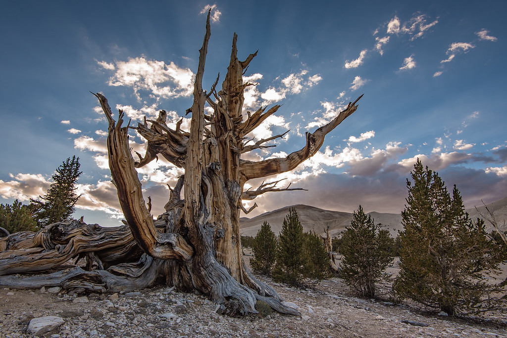 "FRIDAY, SEPTEMBER 23, 2016<br /> <br /> CALIFORNIA 9868<br /> <br /> ""Ancient Bristlecone Forest""<br /> <br /> Patriarch Grove, White Mountains<br /> <br /> Wow... cool... AWESOME... <br /> <br /> I literally lost track of how many times we said WOW or COOL or AWESOME!!! while exploring the Bristlecone Pine forest.  It seems impossible but literally around every bend in the trail there is an even more amazing tree than the countless ones we had already seen.  It felt kind of superfluous to keep repeating these words over and over, but the environment warranted their excessive use.  <br /> <br /> The photos I posted earlier today were from the Schulman Grove of Bristlecones in the White Mountains of California, which is located at the end of the paved portion of the road that accesses the area.  The Schulman Grove is at an elevation of roughly 10,000 feet and contains the oldest known Bristlecone which is approximately 4,500 years old.  After spending the morning and early afternoon in the Schulman Grove we drove up to the Patriarch Grove, which contains the world's largest bristlecone pines.  The Patriarch Grove is at an elevation of about 11,000 feet and at the end of a rough 12-mile dirt road but is well worth the drive!<br /> <br /> We arrived at the Patriarch Grove a couple of hours before sunset.  There are two short 1/2 mile trails that wind through the trees and there are several AMAZING trees on these walks.  We found two that we really liked and decided to focus our time on those for photography as sunset drew near.  We ended up having one of the best sunsets of the trip at Patriarch Grove.  Some clouds had been moving through all afternoon, which hung around until sunset.  Clouds had been nonexistent on the trip up to this point.  Just as the best clouds were approaching behind the trees, beautiful rays of sunlight began to streak across the sky from behind the clouds.  I couldn't have asked for a better sky to go along with our visit to this unbelievable place!  <br /> <br /> Camera: Nikon D750<br /> Lens: Nikon 16-35mm f/4<br /> Focal length: 16mm<br /> Shutter speed:  1/160<br /> Aperture: f/11<br /> ISO: 200"