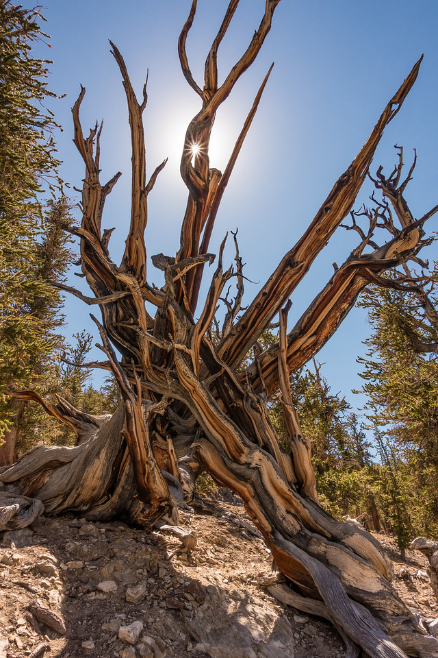"FRIDAY, SEPTEMBER 23, 2016<br /> <br /> CALIFORNIA 03284<br /> <br /> ""Ancient Bristlecone Forest""<br /> <br /> Schulman Grove, White Mountains<br /> <br /> Camera: Sony DSC-RX100M3<br /> Focal length: 24mm<br /> Shutter speed: 1/100<br /> Aperture: f/11<br /> ISO: 100"