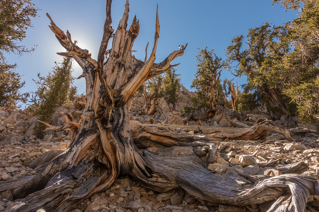 "FRIDAY, SEPTEMBER 23, 2016<br /> <br /> CALIFORNIA 03180<br /> <br /> ""Ancient Bristlecone Forest""<br /> <br /> Schulman Grove, White Mountains<br /> <br /> For the next leg of our vacation we headed over to the east side of the Sierras and up into the White Mountains, home to the oldest living trees on Earth: Bristlecone Pines.  The oldest ones have been dated to be 4,500 years old!  I've been wanting to see these trees for a long time so this portion of the trip was really a dream come true for me.  <br /> <br /> The Bristlecones are uniquely adapted for life at high elevations.  Most of them live above 10,000 feet and not only that but they seem to thrive there.  We saw a huge variety of both living and dead trees.  The dead ones were the most intriguing in their looks.  Devoid of any greenery or bark, the dead trees really show off their incredible colors and patterns.  Not to mention the amazing twisting characteristics that many of them have not only in their branches but in their trunks as well.  <br /> <br /> The forest service has done an amazing job of building super-cool trails through the Bristlecone forest.  There are almost 6 miles of trail on two different loops throughout the Schulman Grove, which is the lower elevation group of the two main groves of Bristlecones.  We had a great time hiking the trails and really admired the way the trail was constructed into the hillside.<br /> <br /> Camera: Sony DSC-RX100M3<br /> Focal length: 24mm<br /> Shutter speed: 1/60<br /> Aperture: f/11<br /> ISO: 100"