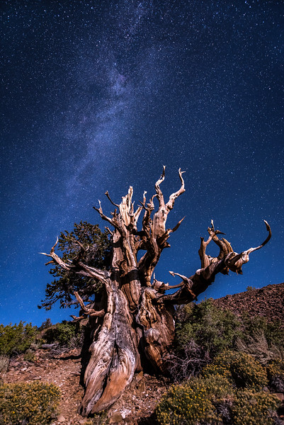 "SATURDAY, SEPTEMBER 24, 2016<br /> <br /> CALIFORNIA 9818<br /> <br /> ""Milky Way and Moonlight over Ancient Bristlecone""<br /> <br /> Schulman Grove, White Mountains<br /> <br /> Camera: Nikon D750<br /> Lens: Nikon 14-24mm f/2.8<br /> Focal length: 14mm<br /> Shutter speed:  30 seconds<br /> Aperture: f/2.8<br /> ISO: 1600"
