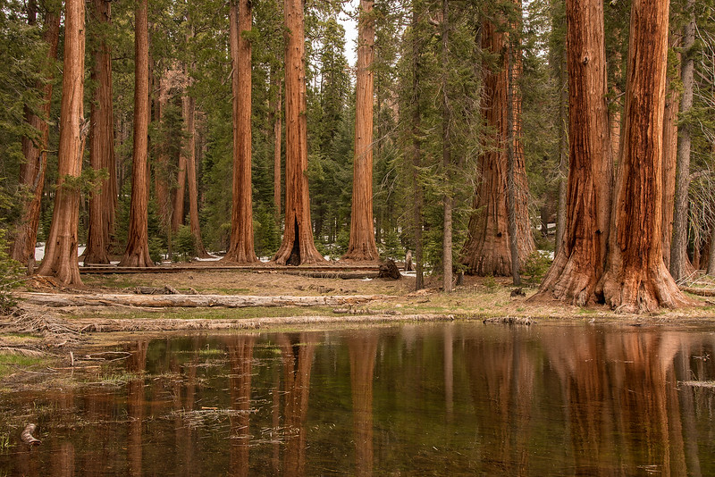 "SUNDAY, APRIL 16, 2017<br /> <br /> CALIFORNIA 2429<br /> <br /> ""Sequoia Reflections in Round Meadow""<br /> <br /> Big Trees Trail - Sequoia National Park<br /> <br /> One of the highlights of my visit to Sequoia on this recent trip was the walk around the perimeter of Round Meadow on the Big Trees Trail.  Viewing the trees from across the meadow gave a different perspective from what you typically see when walking through the forest.  Here, you were  able to ""stand back"", in a sense, and get a better feel for what a stand of trees looks like.  Much different than standing at the base of one of these giants and craning your head WAY back to try and see the top.  Thanks to all the recent melting snow and rainfall parts of the meadow were filled with standing water, making for some cool reflections of the trees.<br /> <br /> Camera: Nikon D750<br /> Lens: Nikon 24-120mm f/4<br /> Focal Length: 34mm<br /> Exposure Time: 1/15<br /> Aperture: f/11<br /> ISO: 400"