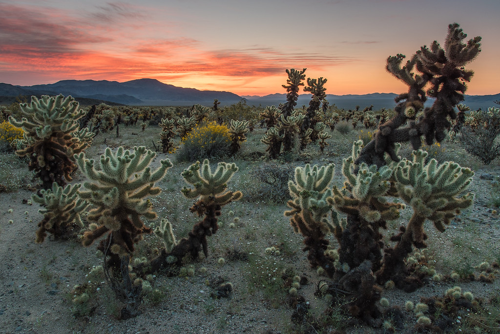"THURSDAY, APRIL 20, 2017<br /> <br /> CALIFORNIA 2506<br /> <br /> ""Dawn at the Cholla Garden""<br /> <br /> I think the Cholla Garden was my favorite place in Joshua Tree National Park.  They are so fascinating, but also very dangerous!  You really have to watch your step when exploring the Cholla Garden because there are spines everywhere.  Luckily during our morning at this location we had some nice, colorful clouds to make the photos even more interesting.  We spent a couple of hours exploring the garden but I think I could have easily spent the entire day there!<br /> <br /> Camera: Nikon D750<br /> Lens: Nikon 24-120mm f/4<br /> Focal Length: 24mm<br /> Exposure Time: 1/6<br /> Aperture: f/11<br /> ISO: 200"
