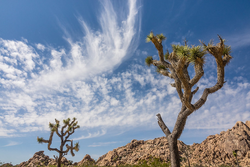 "TUESDAY, APRIL 18, 2017<br /> <br /> CALIFORNIA 02674<br /> <br /> ""Afternoon Clouds and Joshua Trees""<br /> <br /> A beautiful sky complementing the shape of some Joshua Trees along our hike out from Willow Hole and the Wonderland of Rocks in Joshua Tree National Park, California.<br /> <br /> Camera: Sony DSC-RX10M3<br /> Focal Length: 24mm<br /> Exposure Time: 1/800<br /> Aperture: f/8<br /> ISO: 200"