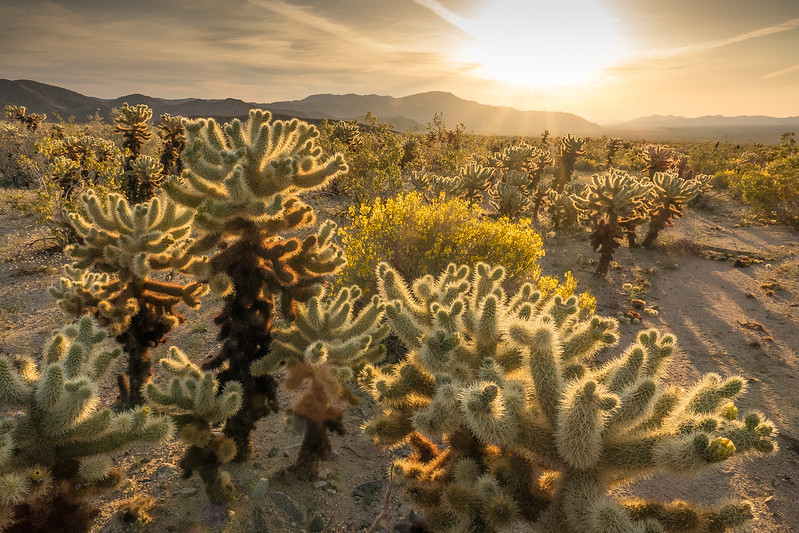 "THURSDAY, APRIL 20, 2017<br /> <br /> CALIFORNIA 02763<br /> <br /> ""Sunrise at the Cholla Garden""<br /> <br /> Joshua Tree National Park - Here's another photo from the Cholla Garden, this time showing the sun as it tried to break through the clouds.  What a beautiful place and what a beautiful morning!  I can't wait to go back :-)<br /> <br /> Camera: Sony DSC-RX10M3<br /> Focal Length: 24mm<br /> Exposure Time: 1/160<br /> Aperture: f/11<br /> ISO: 200"