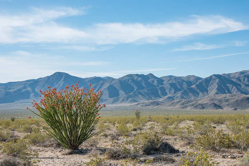 "SUNDAY, APRIL 23, 2017<br /> <br /> CALIFORNIA 2640<br /> <br /> ""Ocotillo and the Hexie Mountains""<br /> <br /> Driving south through Joshua Tree National Park the terrain transitions from the high Mojave Desert to the lower Sonoran Desert.  The vegetation also changes and as soon as you leave the Joshua Trees you come into the Cholla Cactus Garden and the Ocotillo Patch.  I found the Ocotillo to be a very fascinating plant.  We were lucky to see it while it was flowering.  The plant has beautiful blooms and is quite tall, some of the examples we saw were about 15 feet high.  According to an NPS interpretive sign, Ocotillo is able to shed and re-grow its leaves up to 5 times each year depending on the availability of water or lack thereof.  The desert is so fascinating!<br /> <br /> Camera: Nikon D750<br /> Lens: Nikon 24-120mm f/4<br /> Focal Length: 58mm<br /> Exposure Time: 1/500<br /> Aperture: f/11<br /> ISO: 200"