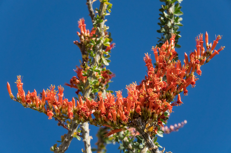 "TUESDAY, APRIL 25, 2017<br /> <br /> CALIFORNIA 02888<br /> <br /> ""Ocotillo Bloom""<br /> <br /> Joshua Tree National Park<br /> <br /> Camera: Sony DSC-RX10M3<br /> Focal Length: 289mm<br /> Exposure Time: 1/250<br /> Aperture: f/11<br /> ISO: 200"