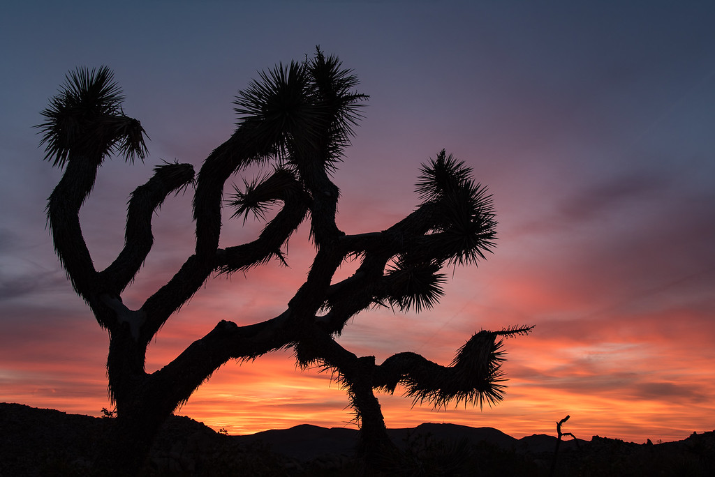 "SUNDAY, APRIL 23, 2017<br /> <br /> CALIFORNIA 2595<br /> <br /> ""The Break of Dawn""<br /> <br /> There are so many cool locations to photograph in Joshua Tree National Park, it was hard to pick just one spot for sunrise.  In the end we settled on an area just a few minutes away from our campground. We arrived in plenty of time to find a good tree to photograph with the colors of sunrise. For about 15 to 20 minutes the colors in the clouds were beautiful, then the color faded and seemingly out of nowhere the sky was filled with jet contrails.  I feel very fortunate to have gotten this photograph with the nice colors before the contrails took over.  <br /> <br /> Camera: Nikon D750<br /> Lens: Nikon 24-120mm f/4<br /> Focal Length: 34mm<br /> Exposure Time: 1/13<br /> Aperture: f/11<br /> ISO: 200"