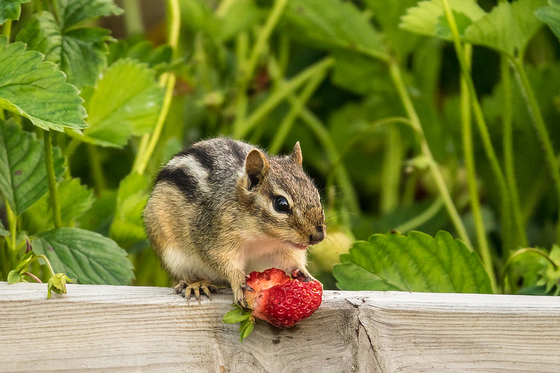 "SUNDAY, AUGUST 6, 2017<br /> <br /> ANIMALS BY LAND 05050<br /> <br /> ""Strawberry Thief""<br /> <br /> The little chipmunk that likes to raid our strawberry bed :-)<br /> <br /> Camera: Sony DSC-RX10M3<br /> Focal Length: 600mm<br /> Exposure Time: 1/1000<br /> Aperture: f/4<br /> ISO: 800"