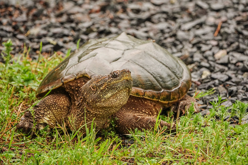 "SUNDAY, JULY 9, 2017<br /> <br /> ANIMALS BY LAND 04818<br /> <br /> ""Snapping Turtle""<br /> <br /> Grand Portage State Park, MN<br /> <br /> It's that time of year again where the Snapping Turtles are coming out of the Pigeon River to lay their eggs.  I saw this one as I was leaving work last night.  Every year they lay eggs in the ground right on the lawn near our visitor center.  They are always such fascinating creatures to see.<br /> <br /> Camera: Sony DSC-RX10M3<br /> Focal Length: 600mm<br /> Exposure Time: 1/200<br /> Aperture: f/4<br /> ISO: 400"