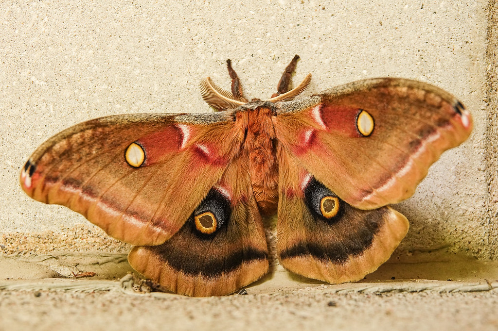 "SATURDAY, JULY 8, 2017<br /> <br /> INSECTS 04792<br /> <br /> ""Polyphemus Moth""<br /> <br /> Grand Portage State Park, MN<br /> <br /> It's that time of year again when all the beautiful moths show up on the side of our building at work!  Almost every day there are at least a couple of beauties out there.  So far we've seen a few of these Polyphemus Moths, a few Luna Moths and several Sphynx Moths.  Even with a concrete backdrop these creatures are incredibly beautiful!<br /> <br /> Camera: Sony DSC-RX10M3<br /> Focal Length: 77mm<br /> Exposure Time: 1/30<br /> Aperture: f/4<br /> ISO: 400"