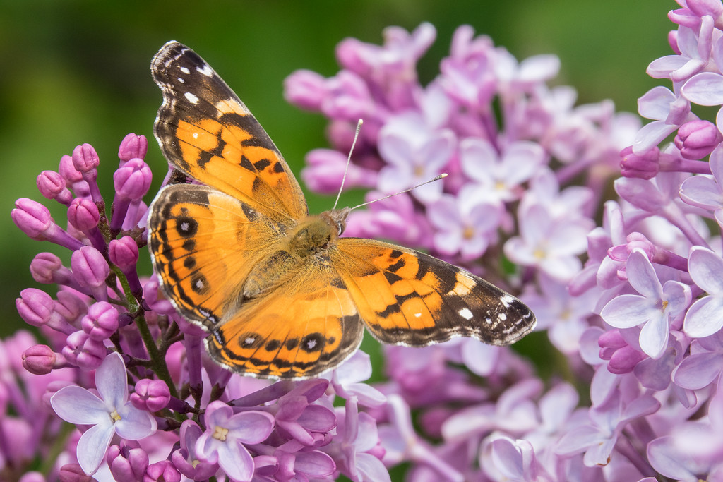 "SATURDAY, JUNE 24, 2017<br /> <br /> INSECTS 04722<br /> <br /> ""Painted Lady on Lilac""<br /> <br /> We haven't had much sun lately but when it has been out the butterflies have been all over our lilac bushes!  This painted lady was posing nicely for a photograph.<br /> <br /> Camera: Sony DSC-RX10M3<br /> Focal Length: 600mm<br /> Exposure Time: 1/800<br /> Aperture: f/5.6<br /> ISO: 200"