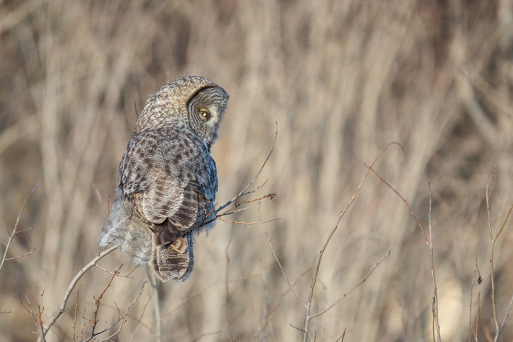 "SUNDAY, MARCH 26, 2017<br /> <br /> OWL 02050<br /> <br /> ""Village Owl""<br /> <br /> Yesterday on the way home from work I had the good fortune to spend some time photographing this beautiful Great Gray Owl (thanks Leslie for tipping me off to the fact this bird was around!).  It was a windy afternoon so the bird's feathers were a little ruffled up while he was perched on the young trees.  I watched him as he surveyed and listened the surrounding area, hoping to sense some prey.  3 times I watched him swoop to the ground, as if looking for potential meal.  I never saw him come up with anything, however.  Soon the light began to fade and I was no longer able to make any good images of him.  I sure hope he was able to eventually find a good meal.   <br /> <br /> Camera: Sony DSC-RX10M3<br /> Focal Length: 600mm<br /> Exposure Time: 1/1000<br /> Aperture: f/4<br /> ISO: 400"