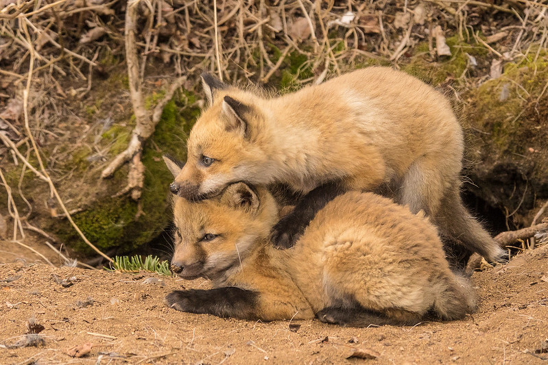 "THURSDAY, MAY 11, 2017<br /> <br /> FOX 04072<br /> <br /> ""Siblings""<br /> <br /> The spring babies are starting to show up!  These fox kits were being adorably cute yesterday as they played and cuddled at the entrance to their den.<br /> <br /> Camera: Sony DSC-RX10M3<br /> Focal Length: 600mm<br /> Exposure Time: 1/640<br /> Aperture: f/4<br /> ISO: 800"