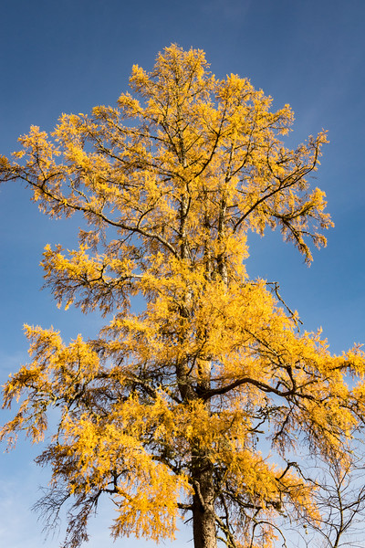 "WEDNESDAY, OCTOBER 18, 2017<br /> <br /> FOREST 06718<br /> <br /> ""Golden Tamarack""<br /> <br /> While out bike riding yesterday I saw a lot of really beautiful tamarack trees along my chosen route.  They are such beautiful trees!  The tamarack is a deciduous conifer, which means that its needles change color and fall to the ground each year.<br /> <br /> Camera: Sony DSC-RX10M3<br /> Focal Length: 41mm<br /> Exposure Time: 1/500<br /> Aperture: f/5.6<br /> ISO: 200"