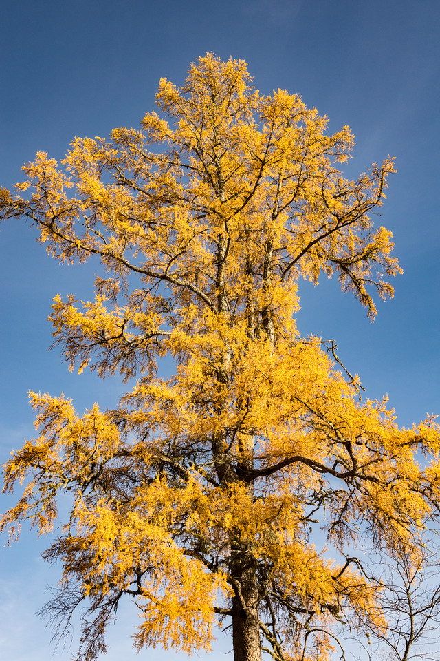 """WEDNESDAY, OCTOBER 18, 2017<br /> <br /> FOREST 06718<br /> <br /> """"Golden Tamarack""""<br /> <br /> While out bike riding yesterday I saw a lot of really beautiful tamarack trees along my chosen route.  They are such beautiful trees!  The tamarack is a deciduous conifer, which means that its needles change color and fall to the ground each year.<br /> <br /> Camera: Sony DSC-RX10M3<br /> Focal Length: 41mm<br /> Exposure Time: 1/500<br /> Aperture: f/5.6<br /> ISO: 200"""