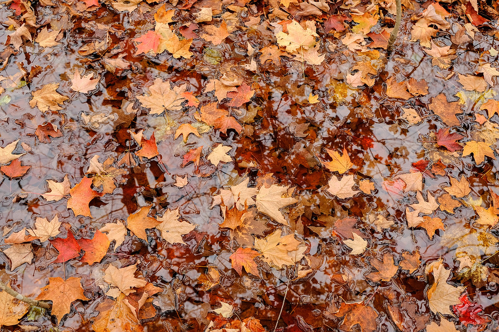"""SUNDAY, OCTOBER 15, 2017<br /> <br /> AUTUMN 0526<br /> <br /> """"Maple Leaves on the Forest Floor""""<br /> <br /> Maple leaves litter the forest floor after a rainy day in the Minnesota northwoods. <br /> <br /> Camera: FUJIFILM X-T2<br /> Lens: FUJINON XF 18-55mm<br /> Focal Length: 28.9mm<br /> Exposure Time: 1/9<br /> Aperture: f/5.6<br /> ISO: 400"""