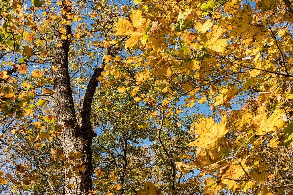 """THURSDAY, OCTOBER 5, 2017<br /> <br /> AUTUMN 0136<br /> <br /> """"Yellow Maple Leaves""""<br /> <br /> A glorious, sunny autumn day in the maple forest of northeast Minnesota.<br /> <br /> Camera: FUJIFILM X-T2<br /> Lens: FUJINON XF 18-55mm<br /> Focal Length: 21.4mm<br /> Exposure Time: 1/40<br /> Aperture: f/16<br /> ISO: 200"""