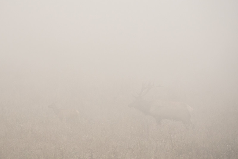 "THURSDAY, SEPTEMBER 21, 2017<br /> <br /> CALIFORNIA 05400<br /> <br /> ""Tule Elk in Fog""<br /> <br /> During our visit to Point Reyes National Seashore in California we did some hiking on the Tomales Point Trail.  As we were hiking we could hear the Tule Elk bugling all around us, but we couldn't see them or the ocean because of the thick fog. Several times when we heard the Elk calling we stopped to see if we could catch a glimpse of them.  Time and time again we were foiled by the fog.  On the return to our car we heard a call that sounded VERY close. We stopped once again to try and catch a glimpse.  The fog was blowing very quickly from right to left across the meadow in front of us.  <br /> <br /> As we stared into the white nothingness Jessica exclaimed ""I think I just saw him!""  After a few more moments the fog cleared just enough and I saw his silhouette as well.  It was extremely difficult to get the camera to focus on the elk in such challenging conditions but after looking into the foggy field for about 10 minutes I did manage to come away with several interesting photos. I hope you enjoy viewing them as much as I enjoyed making them!<br /> <br /> Camera: Sony DSC-RX10M3<br /> Focal Length: 600mm<br /> Exposure Time: 1/1600<br /> Aperture: f/5.6<br /> ISO: 400"
