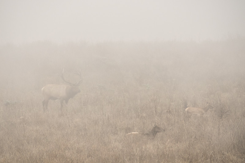 "THURSDAY, SEPTEMBER 21, 2017<br /> <br /> CALIFORNIA 05420<br /> <br /> ""Tule Elk in Fog""<br /> <br /> Point Reyes National Seashore<br /> <br /> Camera: Sony DSC-RX10M3<br /> Focal Length: 600mm<br /> Exposure Time: 1/1250<br /> Aperture: f/5.6<br /> ISO: 400"