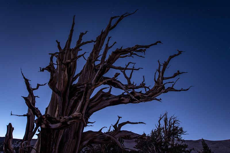 """First Stars in the Bristlecone Forest"""