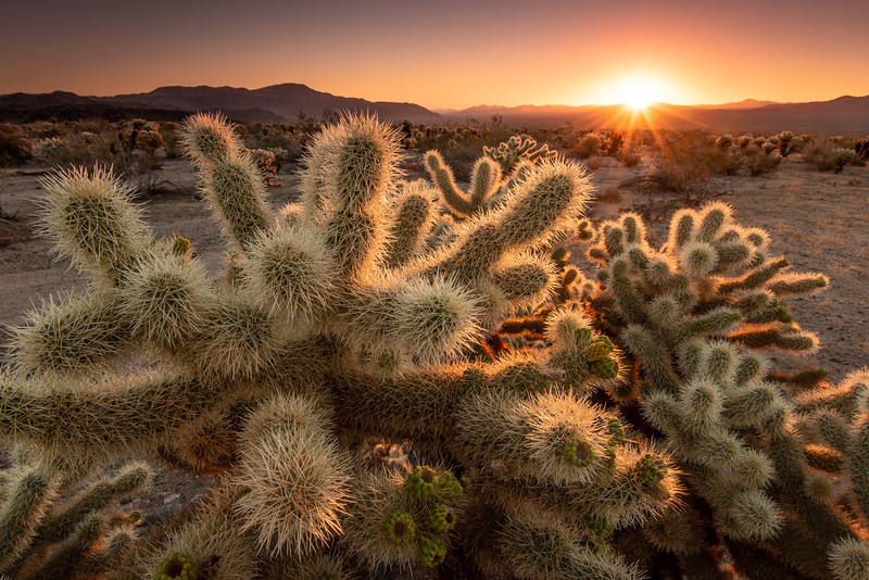 """Sunrise in the Cholla Garden"""