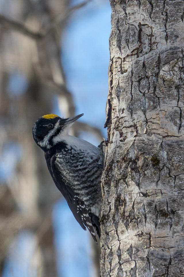 """""""Black-backed Woodpecker"""""""