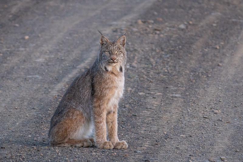 """Spring Lynx"""