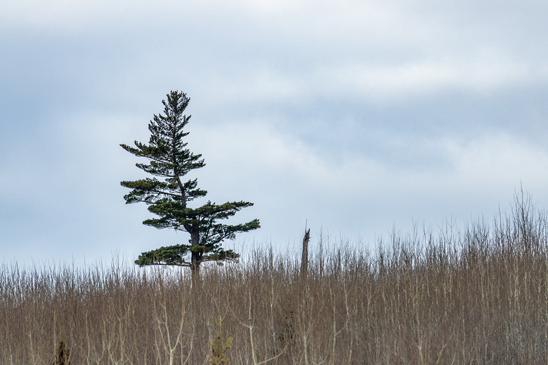 """Last Pine Standing"""