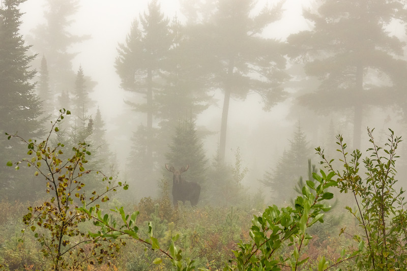 """""""A foggy morning with a Moose"""""""