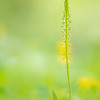 Kleinblütiges Einblatt (Malaxis monophyllos)