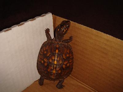 The Feisty Turtlehead