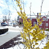 A gently breeze and bright sunrise welcomed spring at 7:02 am on Wednesday, March 20. Already ahead of Mother Nature and in full bloom is a witch hazel shrub outside the Edmond Town Hall, which has been displaying its yellow petals since late February. Across the street on one front lawn alongside the sidewalk are crocuses than popped their heads up last week and opened to the sun, only to close again in the snow.  (Bobowick photo)